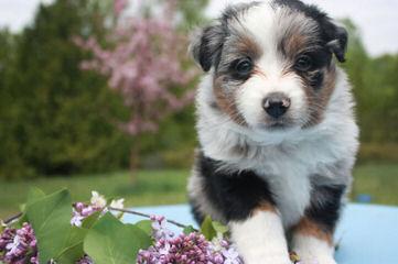 R STAR MINIATURE AUSSIES - Dog Breeders