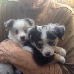 Quality Mini Australian Shepherds - Dog Breeders