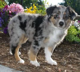 Honey Lake Mini Aussies - Dog Breeders