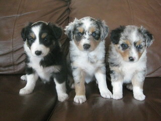 Willow River Farm Mini Australian Shepherd Puppies - Dog Breeders
