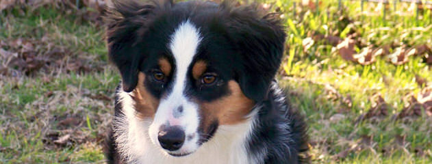 Bold Heart Mini Aussies - Dog Breeders