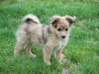 Purebred Miniature Aussie Pups - Dog Breeders