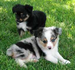 R STAR MINIATURE AUSSIES - Dog Breeders