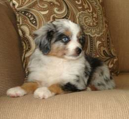Toy & Mini Aussie Pups Available - Dog Breeders