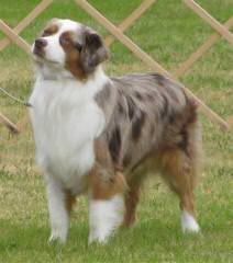 Naci's Aussies - Dog Breeders