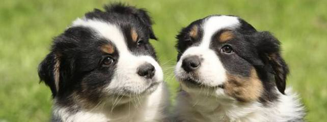 Coal Dust Mini Aussies, Home Of Champions - Dog Breeders