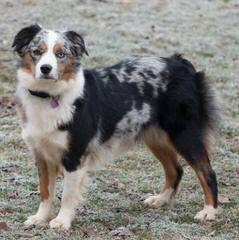 CC's Mini Aussies - Dog Breeders