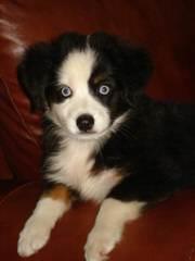 Cross K Mini Aussies - Dog Breeders