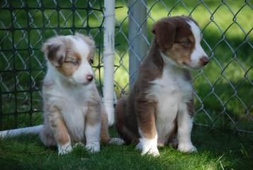 Southern Cross Kennels - Dog Breeders