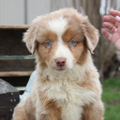 Parsons Place Mini & Toy Australian Shepherds - Dog Breeders