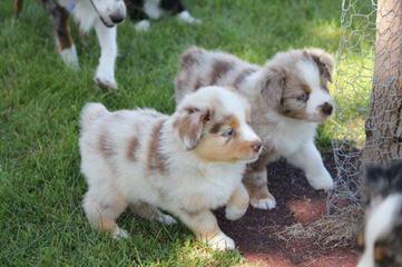 Brassy Acres - Dog Breeders
