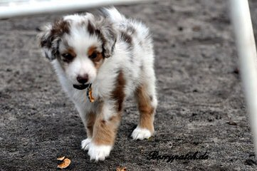 Aussies In Motion - Dog and Puppy Pictures