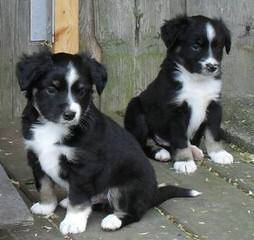 Brunskill's Mini Aussies - Dog Breeders