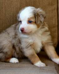 Cross K Mini Aussies - Dog and Puppy Pictures