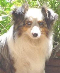 willow aussie - Dog Breeders