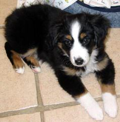 Sonoran Hills Mini Aussies, Miniature American Shepherds - Dog Breeders