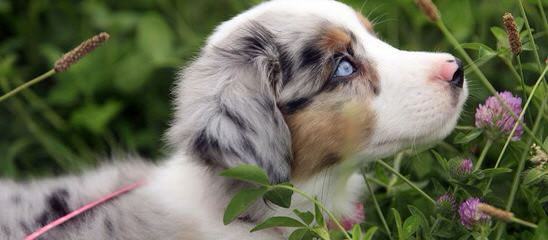 Miniature Australian Shepherds At Runamok Farm! - Dog Breeders