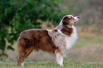 Cl Quarter Horses And Paints And Cl Aussies - Dog Breeders