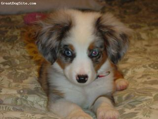 Toy And Mini Aussie Puppies For Sale. - Dog and Puppy Pictures