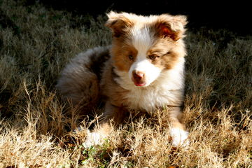 Angers Ausome Aussies - Dog Breeders