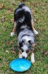 Brunskill's Mini Aussies - Dog Breeders