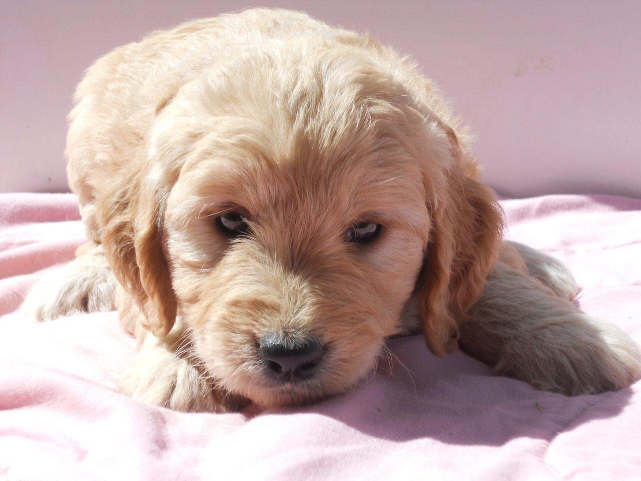 Island Puppies  Puppies For SaleDog BreedersPet Stores