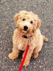 Miniature Goldendoodle Luxury Pets - Dog Breeders