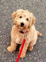Goldendoodles - Dog Breeders