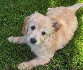 Doodle Heaven Miniature Goldendoodle - Dog Breeders