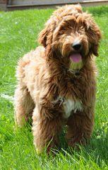 Marilace Puppies – Miniature Goldendoodle - Dog Breeders