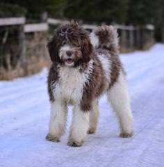 Cimarron Frontier Doodles - Dog Breeders