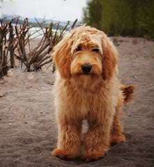 Sandy Ridge – Miniature Goldendoodles - Dog Breeders