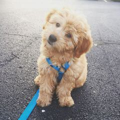 Griffith Kennels Ckc Mini/Toy Goldendoodle Puppies - Dog Breeders