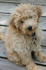 Marilace Toy/ Mini Goldendoodles Available Now! - Dog Breeders