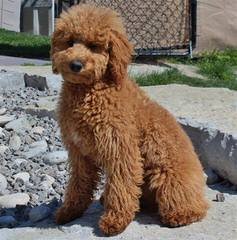 Doodle Heaven Miniature Goldendoodle - Dog and Puppy Pictures