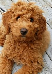 Mendel's Love Of Mini Goldendoodles & Schnauzers - Dog Breeders