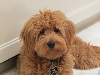 Stroodle's Doodles, Petite, Medium And Mini Goldendoodles - Dog Breeders
