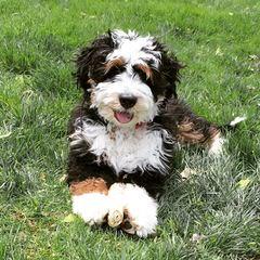 Serene Miniature Goldendoodles - Dog Breeders