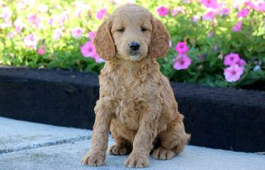 Goldendoodle/Mini/Petite Golden Doodles! - Dog and Puppy Pictures