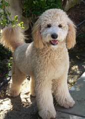 Mini & Petite Goldendoodles - Dog Breeders
