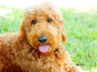 Mini & Std. Goldendoodles - Dog Breeders