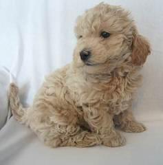 Mini & Std. Goldendoodles - Dog Breeders