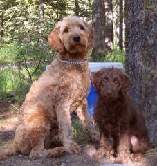 Doodles Of Williams Acres - Dog Breeders