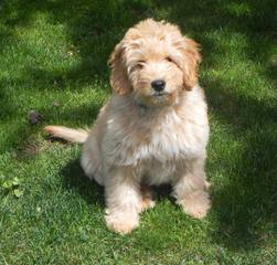 Golden Doodle Mini Puppies - Dog Breeders