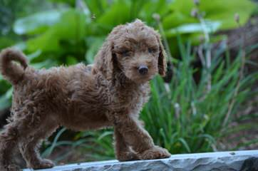 Stroodle's Doodles, Petite, Medium And Mini Goldendoodles - Dog and Puppy Pictures