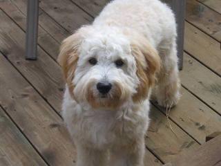 Bonnyoaks Farm Goldendoodles - Dog Breeders