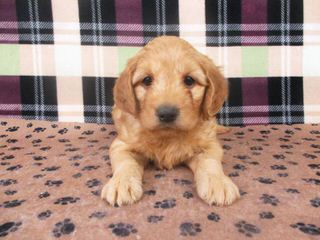 True Mini Goldendoodles Puppies Available Now - Dog Breeders