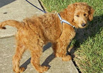Moss Creek GoldenDoodles English F1 - Dog Breeders