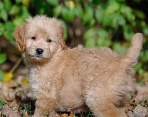 Cow Creek Doodles – Mini Goldendoodles - Dog Breeders
