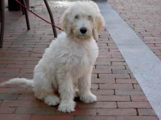 Golden Doodle Mini Puppies - Dog Breeders